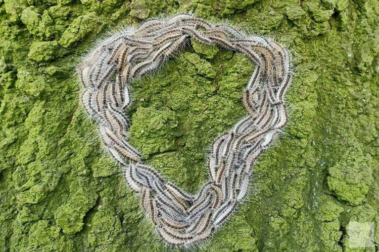 Nestjes eikenprocessierups aangetroffen